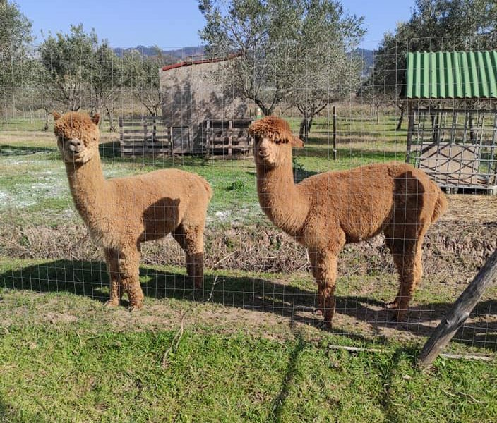 alpaca del fatonero (2)
