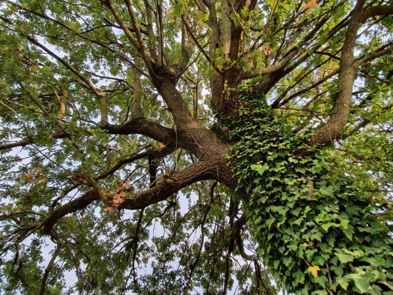 La quercia leggiadra dalle foglie di merletto